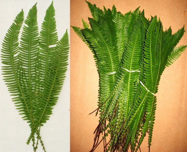 Deer Fern 300 stems per case